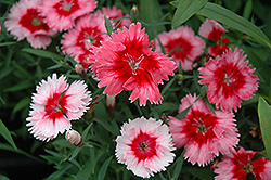 Super Parfait™ Strawberry Pinks (Dianthus 'Super Parfait Strawberry') at America's Best Flowers