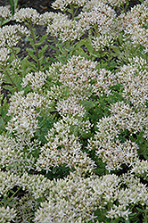 Thundercloud Stonecrop (Sedum 'Thundercloud') at America's Best Flowers