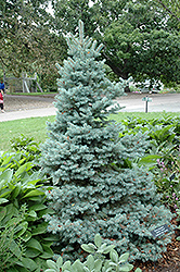 Sester Dwarf Blue Spruce (Picea pungens 'Sester Dwarf') at America's Best Flowers