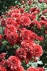 Jolly Cheryl Chrysanthemum (Chrysanthemum 'Jolly Cheryl') at America's Best Flowers