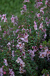 Archangel™ Pink Angelonia (Angelonia angustifolia 'Archangel Pink') at America's Best Flowers