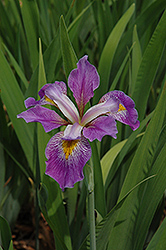 Southern Blue Flag Iris (Iris virginica) at America's Best Flowers