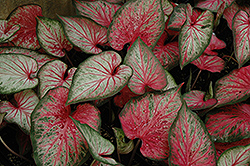Carolyn Whorton Caladium (Caladium 'Carolyn Whorton') at America's Best Flowers