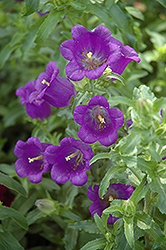 Champion Blue Canterbury Bells (Campanula 'Champion Blue') at America's Best Flowers