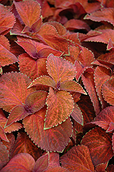 Wizard Sunset Coleus (Solenostemon scutellarioides 'Wizard Sunset') at America's Best Flowers