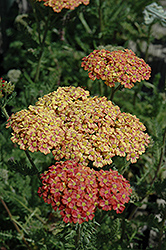 Desert Eve™ Terracotta Yarrow (Achillea millefolium 'Desert Eve Terracotta') at America's Best Flowers