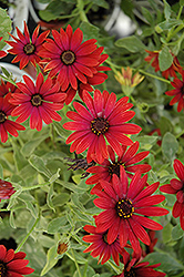 Zion Red African Daisy (Osteospermum 'Zion Red') at America's Best Flowers