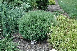 Mr. Bowling Ball Arborvitae (Thuja occidentalis 'Bobazam') at America's Best Flowers