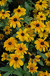 Tiger Eye Gold Coneflower (Rudbeckia hirta 'Tiger Eye Gold') at America's Best Flowers