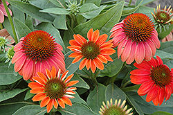 Sombrero® Hot Coral Coneflower (Echinacea 'Balsomcor') at America's Best Flowers