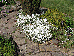 Yo Yo Snow-In-Summer (Cerastium tomentosum 'Yo Yo') at America's Best Flowers