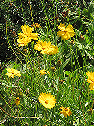 Lanceleaf Tickseed (Coreopsis lanceolata) at America's Best Flowers