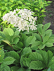 Chestnut Rodgersia (Rodgersia aesculifolia) at America's Best Flowers