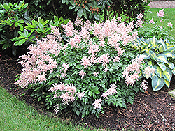 Peach Blossom Astilbe (Astilbe x rosea 'Peach Blossom') at America's Best Flowers