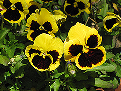 Delta™ Yellow With Blotch Pansy (Viola x wittrockiana 'Delta Yellow With Blotch') at America's Best Flowers