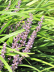 Lily Turf (Liriope spicata) at America's Best Flowers