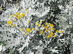 Silver Dust Dusty Miller (Senecio cineraria 'Silver Dust') at America's Best Flowers