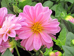 Dahlietta® Lisa Pink Dahlia (Dahlia 'Dahlietta Lisa Pink') at America's Best Flowers
