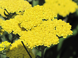 Moonshine Yarrow (Achillea 'Moonshine') at America's Best Flowers