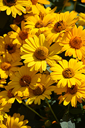 Tuscan Sun False Sunflower (Heliopsis helianthoides 'Tuscan Sun') at America's Best Flowers