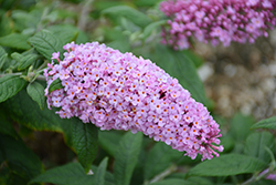 Pugster® Pink Butterfly Bush (Buddleia 'SMNBDPT') at America's Best Flowers