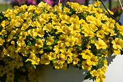 Conga™ Deep Yellow Calibrachoa (Calibrachoa 'Balcongdel') at America's Best Flowers