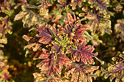 Under The Sea™ Copper Coral Coleus (Solenostemon scutellarioides 'Copper Coral') at America's Best Flowers