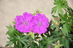 New Hampshire Purple Cranesbill (Geranium sanguineum 'New Hampshire Purple') at America's Best Flowers