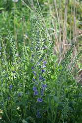 Blue Towers False Indigo (Baptisia 'Blue Towers') at America's Best Flowers