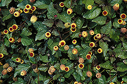 Peek A Boo Para Cress (Spilanthes oleracea 'Peek A Boo') at America's Best Flowers