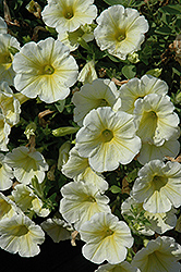 Sunshine Ray Petunia (Petunia 'Sunshine Ray') at America's Best Flowers