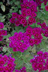 Estrella Dark Purple Verbena (Verbena 'Estrella Dark Purple') at America's Best Flowers