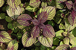 Fishnet Stockings Coleus (Solenostemon scutellarioides 'Fishnet Stockings') at America's Best Flowers