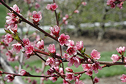 Reliance Peach (Prunus persica 'Reliance') at America's Best Flowers