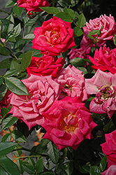 Be My Baby Rose (Rosa 'Be My Baby') at America's Best Flowers