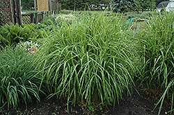 Porcupine Grass (Miscanthus sinensis 'Strictus') at America's Best Flowers