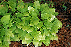 Fire Island Hosta (Hosta 'Fire Island') at America's Best Flowers