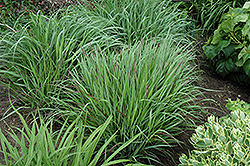 Cheyenne Sky Switch Grass (Panicum virgatum 'Cheyenne Sky') at America's Best Flowers