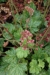 Berry Timeless Coral Bells (Heuchera 'Berry Timeless') at America's Best Flowers