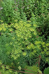 Dill (Anethum graveolens) at America's Best Flowers