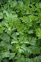 Italian Parsley (Petroselinum crispum 'var. neapolitanum') at America's Best Flowers
