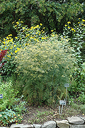 Fennel (Foeniculum vulgare) at America's Best Flowers