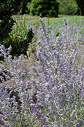Lacey Blue Russian Sage (Perovskia atriplicifolia 'Lacey Blue') at America's Best Flowers