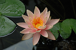 Colorado Hardy Water Lily (Nymphaea 'Colorado') at America's Best Flowers