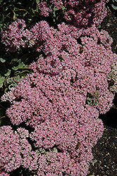 Lime Zinger Stonecrop (Sedum 'Lime Zinger') at America's Best Flowers