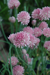 Forescate Chives (Allium schoenoprasum 'Forescate') at America's Best Flowers