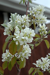 Standing Ovation™ Saskatoon Berry (Amelanchier alnifolia 'Obelisk') at America's Best Flowers