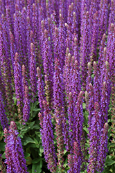 East Friesland Sage (Salvia nemorosa 'East Friesland') at America's Best Flowers
