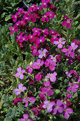 Cascade Red Rock Cress (Aubrieta 'Cascade Red') at America's Best Flowers