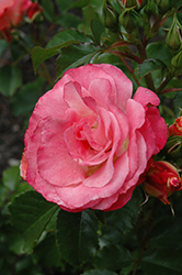 Coral Cove Rose (Rosa 'Coral Cove') at America's Best Flowers